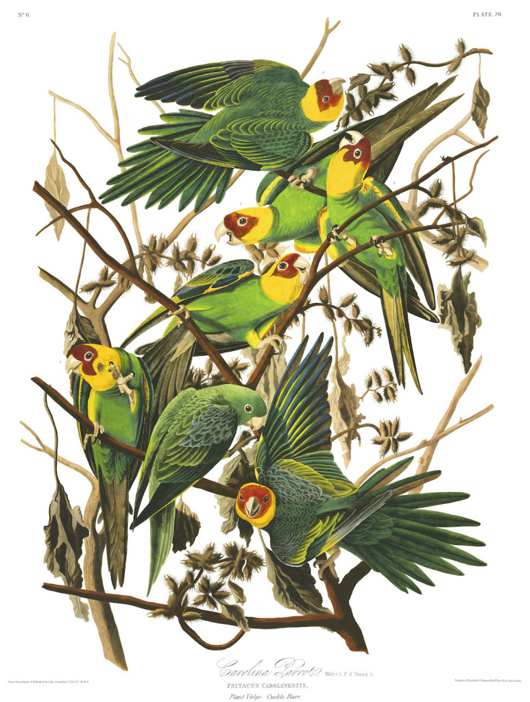 audubons quotbirds of americaquot illustrations are now online