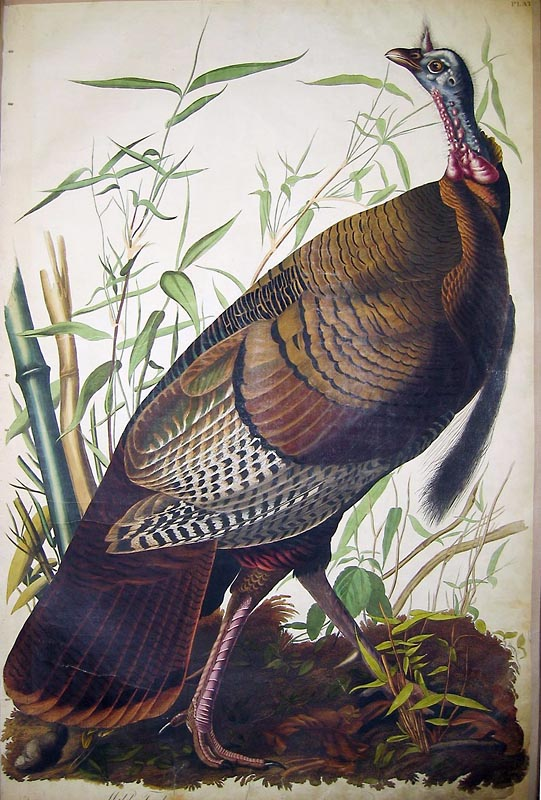 Wild Turkey, John James Audubon